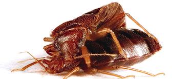 Живут ли вместе клопы и тараканы