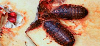 Правда ли что тараканы могут есть постельных клопов