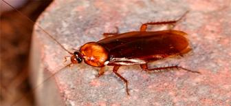 Как часто размножаются рыжие тараканы