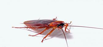Чем уничтожить тараканов