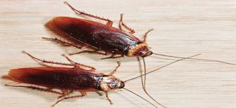 Чего боятся рыжие домашние тараканы