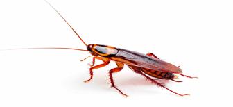 Бывают ли летающие тараканы